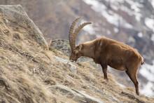Ibex Grazing