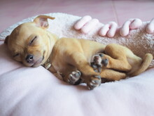 The Light Brown Chihuahua Dog Is Sleeping Peacefully.