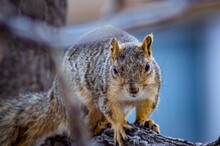 Close-up Of Fox Squirrel Looking At Camera