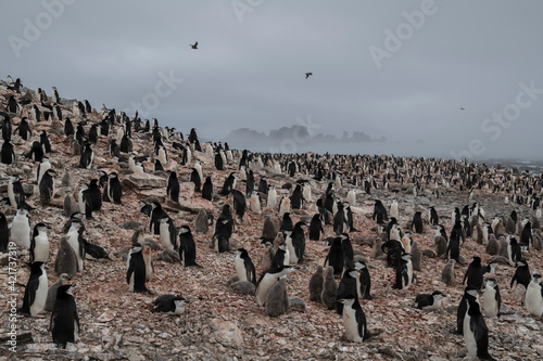 Fotografiet Chinstrap Penguin Colony On Low Island, Antarctica.