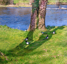 Six Magpies On The Grass Near The River