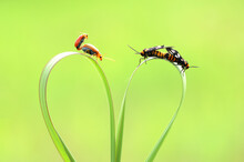 Two Beetles Mating On The Stalk