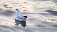 White Seagull Swimming In Lake
