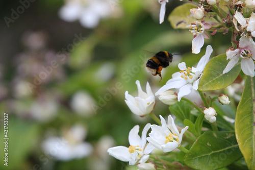 Fotografia, Obraz Bumblebee on a flower