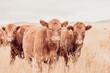 Leinwandbild Motiv Cows In A Field