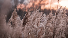Dry Reed On The Lake, Reed Layer, Reed Seeds. Golden Reed Grass In The Fall In The Sun.