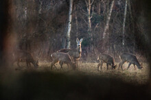 Group Of Deers Capreolus Capreolus In The Forest