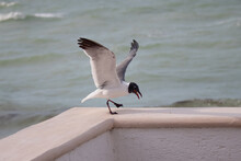 Laughing Gull Balancing With Its Wings Up In The Air While Enjoying A Stolen Potato Chip