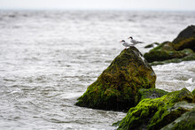 Birds On Rocks Covered With Seagrass And Mud On The Ocean Coast