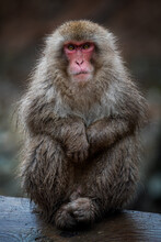Japanese Snow Monkey Posing For A Portrait