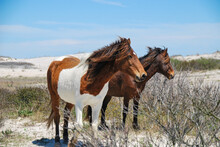 Chincoteague Ponies.