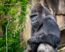 A Photo I Took Of A Smiling Gorilla. The Look On His Face Is Priceless.