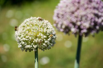 Kwiaty czosnku w ogrodzie, owady