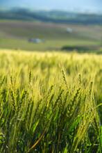 初夏の緑のムギ畑