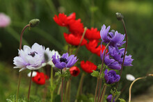 Field Of Purple And Red Gerberas On Green Meadow Background.