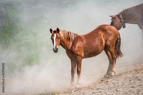 Obraz na plátně Beautiful horse run gallop in dust