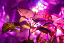Flower Seedlings Under Light Of Full Spectrum LED Phytolamp At Home On Windowsill.
