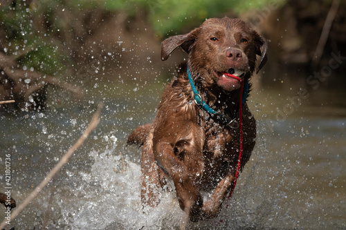 Fototapeta Dog Running In Water obraz