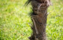 Hairy Bark On A Palm Tree.