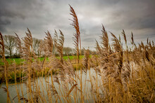 Close Up And Selective Focus On A Reed Among The Golden Reed Bed Lining The Bank Of A Drainage Dyke In The Norfolk Countryside Captured On A Dull, Grey And Overcast Winter's Day