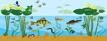Ecosystem Of Pond. Animals Living In Pond. Diverse Inhabitants Of Pond (fish, Amphibian, Leech, Insects And Bird) In Their Natural Habitat