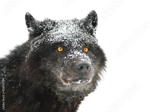 portrait canadian black wolf on white background