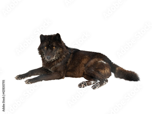 canadian black wolf lies on the snow isolated on white background