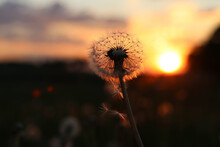 Close-up Of Wilted Dandelion Against Sky During Sunset