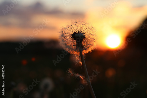 Obraz Close-up Of Wilted Dandelion Against Sky During Sunset - fototapety do salonu