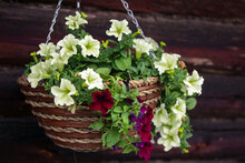 Flower Arrangement Of Burgundy And Yellow Limw Petunias  In A Hanging Basket. Country Style