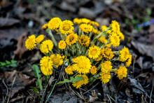 Yellow And Pretty Flowers Of Coltsfoot (Tussilago Farfara)