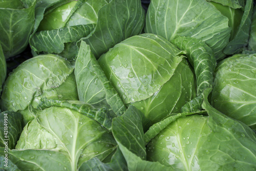Canvas Print background with fresh early cabbage close up