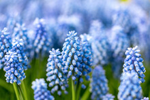 Muscari Armeniacum. It Is A Species Of Flowering Plant Widespread In The Woods And Meadows Of The Eastern Mediterranean. It Is A Bulbous Perennial That Produces Blue Flowers.