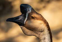 Portrait Of Male Brown Chinese Goose On The Farm