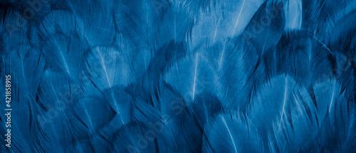 Fototapeta macro photo of blue hen feathers. background or textura obraz