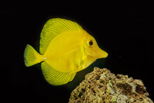 The Yellow Tang (Zebrasoma Flavescens) Is A Saltwater Fish Species Of The Family Acanthuridae. It Is One Of The Most Popular Marine Aquarium Fish.