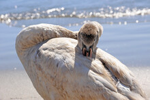 Young Swan In Migration Resting On Ponente Anzio Beach