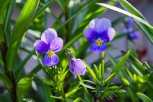 Garden Flowers-Violets Pansies (Viola Tricolor) Or Horned Violet, Close-up. Soft Selective Focus.