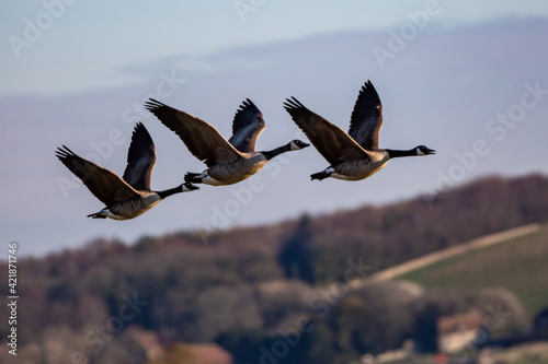 Fotografia, Obraz Canada Geese Flying over the South Downs in Sussex