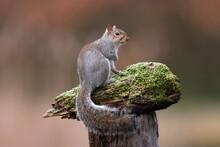 An Eastern Grey Squirrel