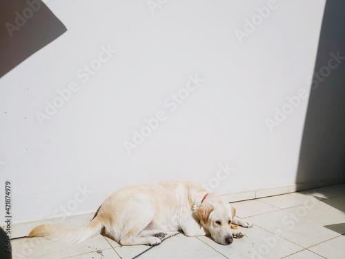 Fotografie, Tablou Dog Sleeping On Floor Against Wall