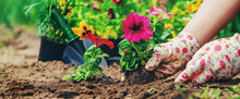 The Gardener Is Planting A Flower Garden. Selective Focus.