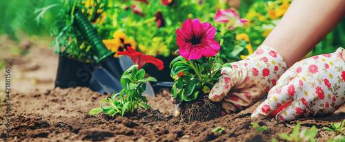 Tablou Canvas The gardener is planting a flower garden. Selective focus.