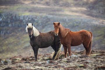 Horses At Iceland