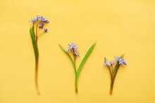 Composition Of Purple Flowers. Three Violets Flowers Of Different Sizes On A Yellow Background. The Concept Of Spring. Flat, Top View.the Concept Of The Difference Of Virtue, Power. The Life Cycle.