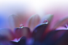 Beautiful Macro Shot Of Magic Flowers.Border Art Design. Magic Light.Extreme Close Up Macro Photography.Conceptual Abstract Image.Violet And Pink Background.Fantasy Art.Creative Wallpaper.Water Drop.