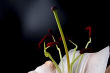 Closeup Shot Of Lily Flower On Dark Background