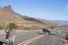 Oatman Arizona Burros On The Road.