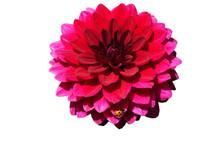 A Single Dahlia Flower With A Ladybird Or Ladybug Resting On It