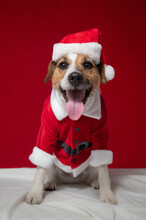 Portrait Of A Jack Russell Terrier Wearing A Christmas Outfit